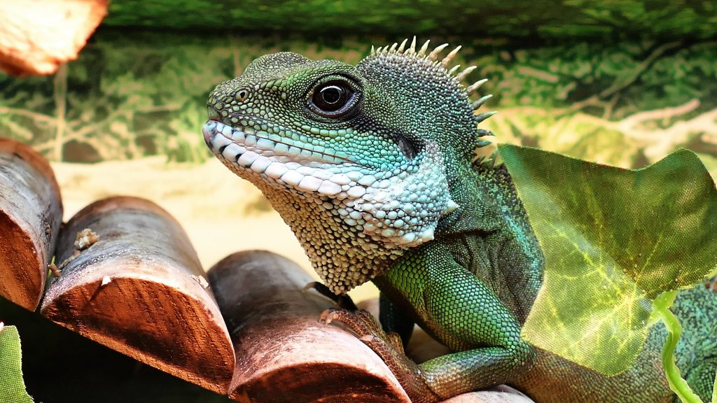 pet iguana