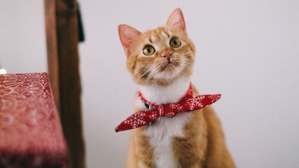 orangetabby cat wearing red handkerchief